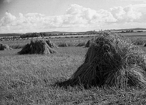 Abb. 3.  Getreidefeld mit Hocken bei Bergen. Aufnahme A. Leube 1960